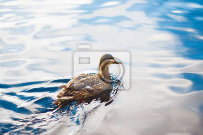 Posters A wild brown duck floats on the clear, sky-reflecting water surface of the lake on a bright day.