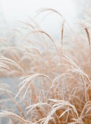 Posters Abstract natural background of soft plants Cortaderia selloana. Frosted pampas grass on a blurry bokeh, Dry reeds boho style. Patterns on the first ice. Earth watching