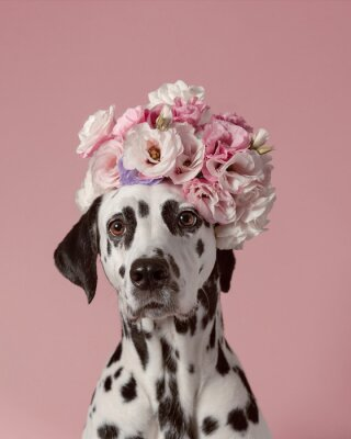 Posters Adorable dalmatian dog with wreath on pink background. Dog portrait with floral crown. I love you. Happy Valentines Day concept