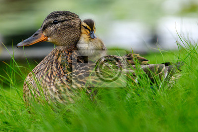 Posters Affectionate relationship between mom and her son or daughter. Lovely baby duck nestles to the head of her / his mom.