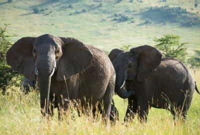 Posters Africaine, éléphants, africaine, savane