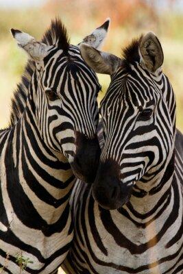 Posters amis Zebra