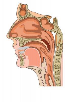 Anatomie Gorge anatomie du nez et de la gorge affiches murales • posters