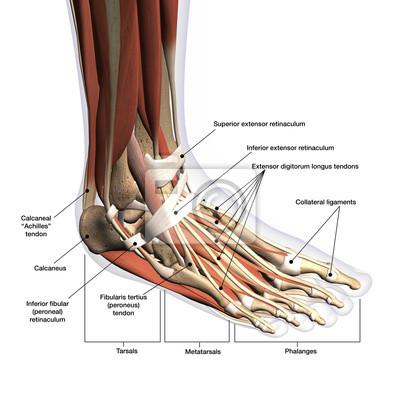 Anatomie Pied anatomie du pied marqué latéral dorsal vue sur fond blanc affiches