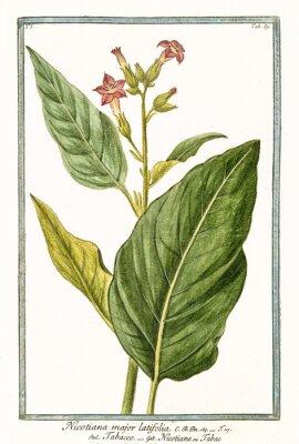 Posters Ancienne illustration botanique de Nicotiana major (Nicotiana tabacum). Par G. Bonelli sur Hortus Romanus, publ. N. Martelli, Rome, 1772 - 93