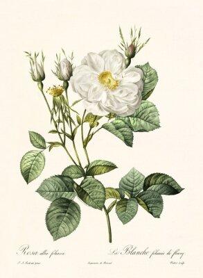 Posters Ancienne illustration de Rosa alba foliacea. Créé par PR Redoute, publié sur Les Roses, Imp. Firmin Didot, Paris, 1817-1824