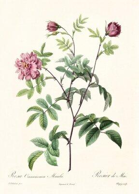 Posters Ancienne illustration de Rosa cimmamomea majalis. Créé par PR Redoute, publié sur Les Roses, Imp. Firmin Didot, Paris, 1817-24