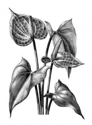 Posters Anthurium botanique vintage gravure illustration clipart isolé sur fond blanc