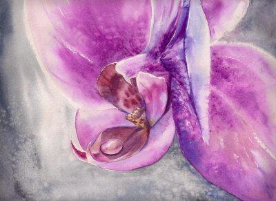 Posters Aquarelle haletante de fleur d'orchidée rose avec petite goutte d'eau.