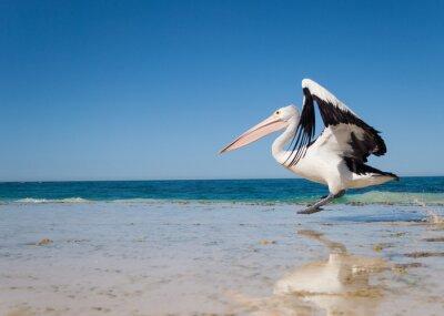Posters Australie, lagon Yanchep, 18/04/2013, le pélican australien décollant en vol d'une plage australienne
