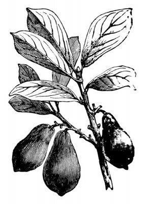 Posters Avocado vintage illustration.