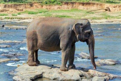 Posters Bain d'éléphant dans la rivière Sri Lanka