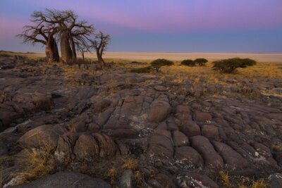 Posters Baobabs, tôt, matin, lumière