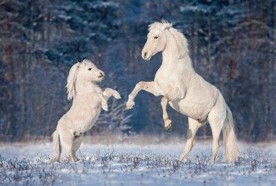Posters Beau, blanc, andalousian, étalon, jouer, peu, shetland, poney, hiver