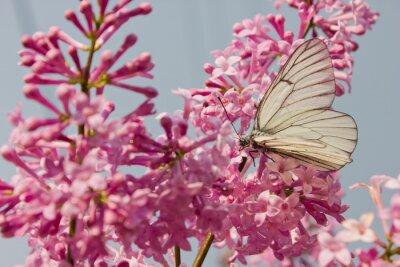 Posters Beau, papillon, séance, fleurs, lilas