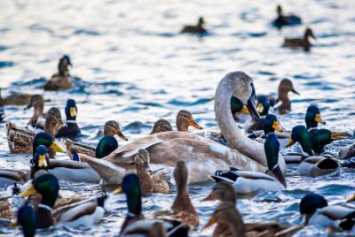 Posters Beautiful swan and duck flock in the water