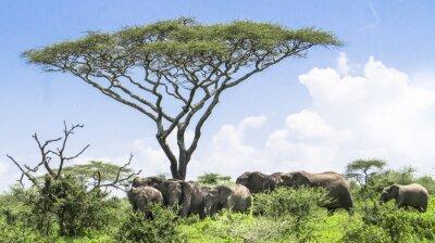 Posters Bébé, éléphant, rattraper, son, troupeau, Éléphants, debout, sous, Acacia, arbre, Serengeti, savane, paysage