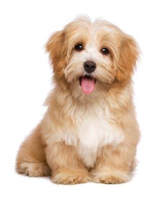 Posters Belle heureux chiot rougeâtre havanese chien est assis frontal