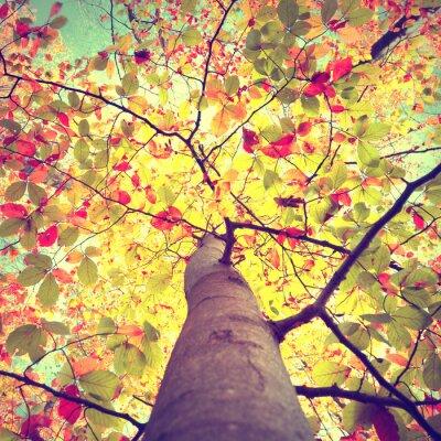 Posters Belle vintage autumn soleil brille à travers la saison hêtre coloré laisse arbre. Look-up à la couronne des arbres d'automne ensoleillé.