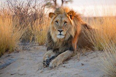 Posters Big lion d'Afrique mâle, désert du Kalahari