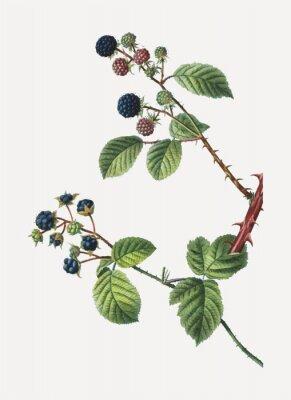 Posters Blackberry bush