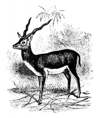 Posters Blackbuck vintage illustration.