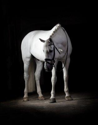 Posters Blanc, cheval, noir, fond