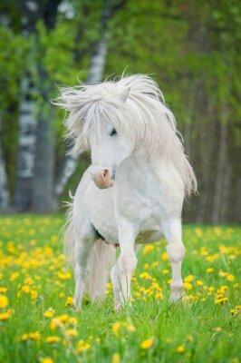 Posters Blanc, shetland, poney, beau, long, crinière, courant, champ, pissenlits