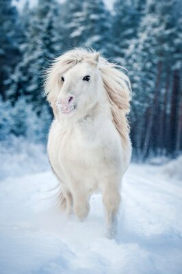 Posters Blanc, shetland, poney, courant, neige, hiver