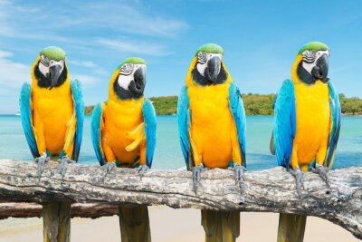 Posters Bleu et or, Macaw, tropical, beau, plage, mer