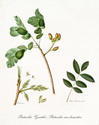 Posters branche de pistache avec des feuilles et d'autres éléments botaniques. Toute la composition est isolée sur fond blanc. Ancienne illustration botanique détaillée de Giorgio Gallesio publiée en 1817, 18