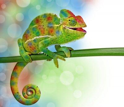 Posters caméléons et de couleurs