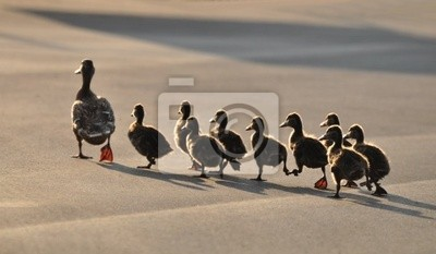 Posters Canards