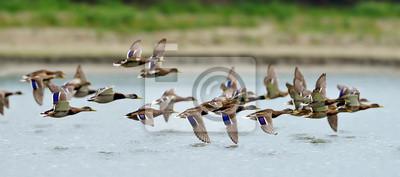 Posters canards sauvages survolant le lac