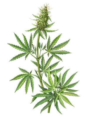 Posters Cannabis Female Plant Pencil Illustration Isolated on White