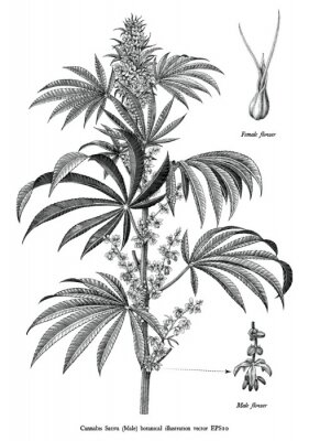 Posters Cannabis sativa male tree botanical vintage engraving illustration black and white clip art isolated on white background