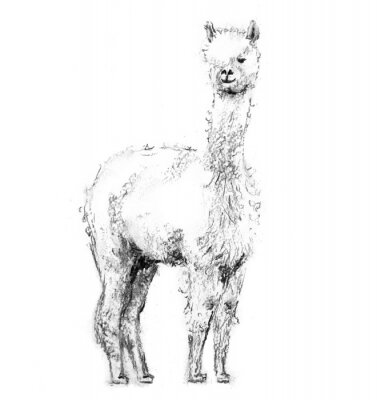 Posters Charcoal drawing lama with forelock standing and looking forward