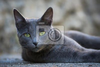 Posters Chat gris aux yeux vert