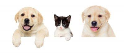 Posters Chaton et chiot Labrador peeps