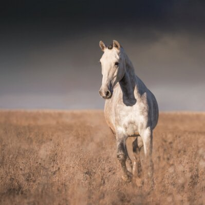 Posters Cheval gris