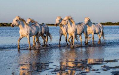 Posters Chevaux blancs de Camargue courent dans la réserve de nature de marais. Parc Régional de Camargue. France. Provence. Une excellente illustration