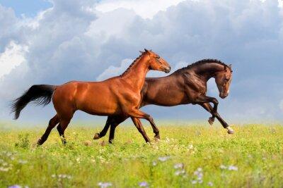 Posters chevaux de couple courent galop sur degré herbe avec des fleurs à la journée d'été