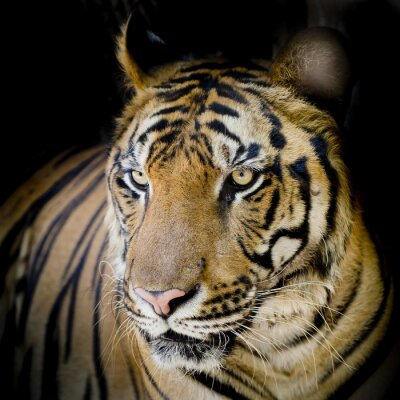 Posters Close up tigre