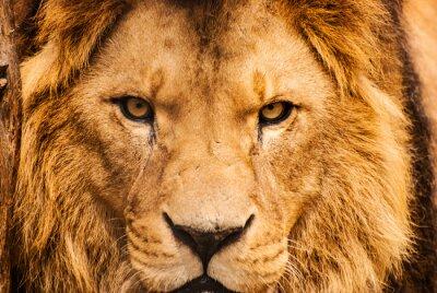 Posters Closeup, portrait, africaine, lion
