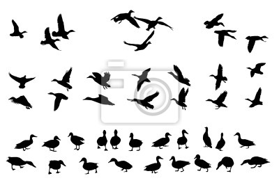 Posters collection de canard colvert silhouettes pour les concepteurs