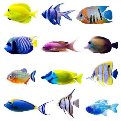 Posters Collection de poissons tropicaux