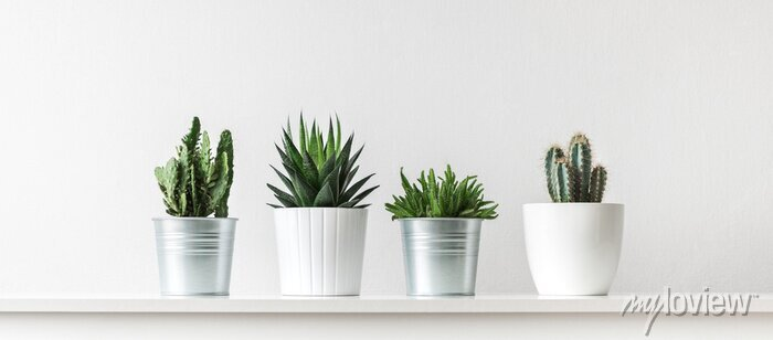 Posters Collection of various cactus and succulent plants in different pots. Potted cactus house plants on white shelf against white wall.