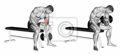 Posters Concentré bras de flexion avec un haltère. Exercice pour la  musculation. Les muscles 633f4787282