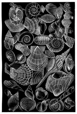 Posters Coquillages - Coquillages - Muscheln