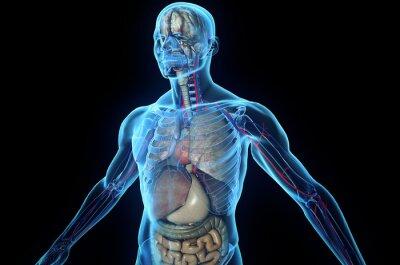 corps humain en 3d avec les organes internes affiches. Black Bedroom Furniture Sets. Home Design Ideas